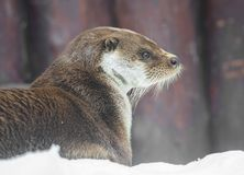 Otter. stock photos