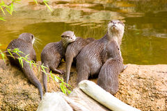 Otter with offspring. On river shore Stock Images