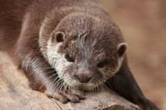 Otter onbeweeglijk stock foto