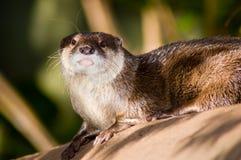 Otter op een Logboek Royalty-vrije Stock Foto