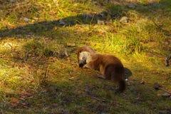 Otter op het gras Stock Afbeelding