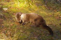 Otter op het gras Stock Foto