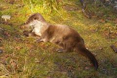 Otter op het gras Royalty-vrije Stock Foto