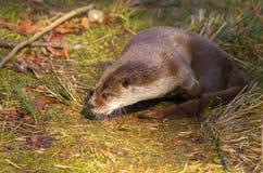 Otter op het gras Stock Foto's