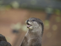 Otter - open mouth Stock Photo