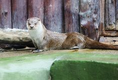 Otter. royalty free stock photos