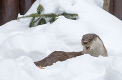 Otter. stock photography