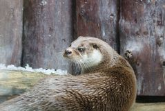 Otter. royalty free stock images