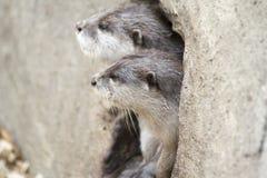 Otter-Paare Stockfotos