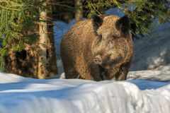Wild boar standing in the snow in winter. Wild boar (Sus scrofa) standing in the snow in winter, Germany, Europe Royalty Free Stock Image