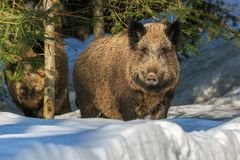Wild boar standing in the snow in winter. Wild boar (Sus scrofa) standing in the snow in winter, Germany, Europe Stock Photography