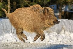 Wild boar piglet running in the snow. Wild boar piglet (Sus scrofa) running in the snow in winter, Germany, Europe royalty free stock image