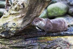 Otter plays. On the Alps Royalty Free Stock Photo