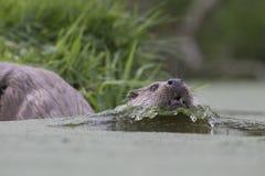Otter-Porträt Lizenzfreies Stockbild