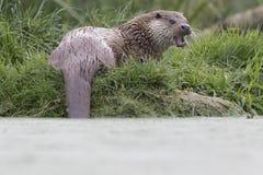 Otter-Porträt Lizenzfreie Stockfotografie