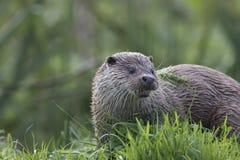Otter-Porträt Stockbilder
