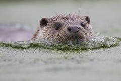 Otter-Porträt Lizenzfreie Stockbilder