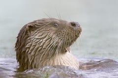 Otter-Porträt Stockfotos