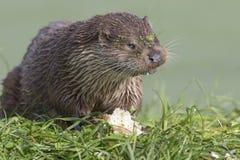 Otter-Porträt Lizenzfreie Stockfotos