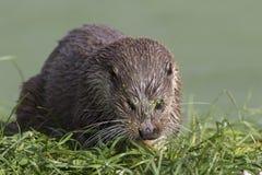Otter-Porträt Stockfoto