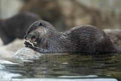 Otter portrait Stock Image