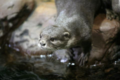 Otter portrait. Near the water Stock Photo