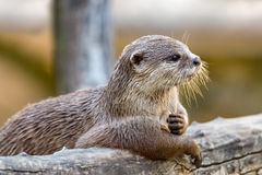 Otter portrait at sunset stock photos