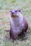 Otter posing Royalty Free Stock Photos
