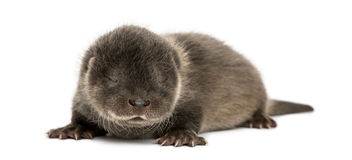 Otter pup lying down, eyes closed, 4 weeks old. Isolated on white Stock Images