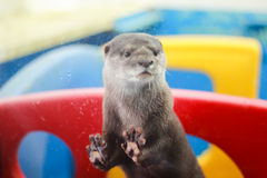 Otter putting its hands on a mirror Stock Image