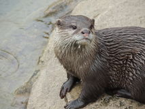 Otter in the rain Stock Images