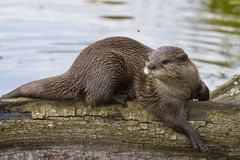 Otter Relaxing In The Sun. On a log Stock Images