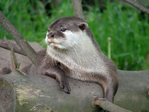An otter at rest. An otter rests leaning casually on a log Royalty Free Stock Image