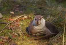 Otter resting on the grass. Lovely otter resting on the grass Royalty Free Stock Photos