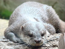 An Otter resting on a log Royalty Free Stock Photos