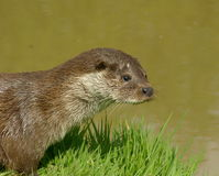 Otter beside river Stock Images