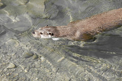 Otter  in a river Stock Images