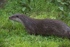 Otter On River Bank Stock Photo