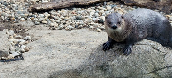Otter on a river rock Stock Photography
