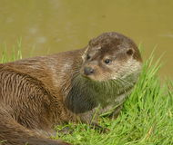 Otter on riverbank Royalty Free Stock Photos