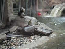 Wet Otter Preparing for another swim as he sits on the shore surrounded by rocks royalty free stock images