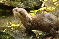 Otter on the rock Royalty Free Stock Photography