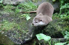 Otter on the Rocky Bank. Royalty Free Stock Image