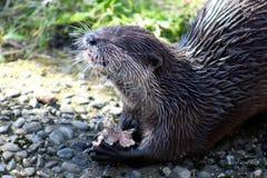 Asian Short Clawed Otter Feeding Stock Photo