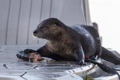 Otter schützt seine Fische Lizenzfreies Stockfoto