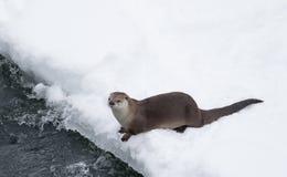 Otter am schneebedeckten Riverbank Lizenzfreie Stockbilder