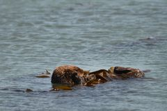 Otter scratching his face. Royalty Free Stock Images