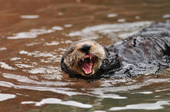 Otter scream Royalty Free Stock Photography
