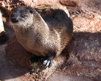 Otter setting up. Otter with head up on wet ground Stock Photo