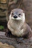 Otter. A shot of an otter on a bank stock photos